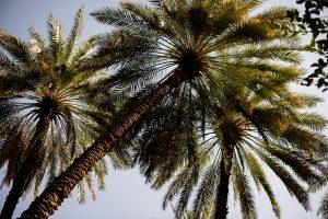 palmiers à oman